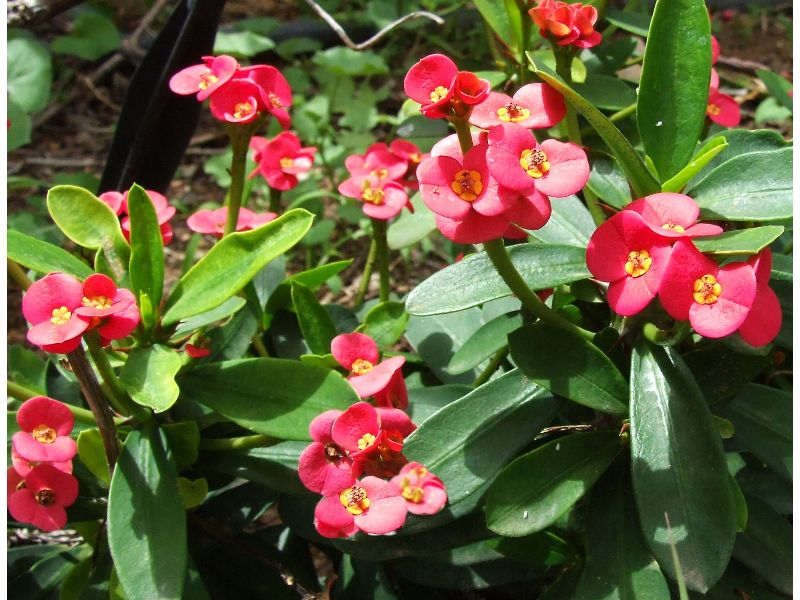 Euphorbia_keysii_4d8cb2a5c58de